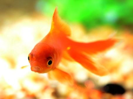 金魚すくい コツ ポイ